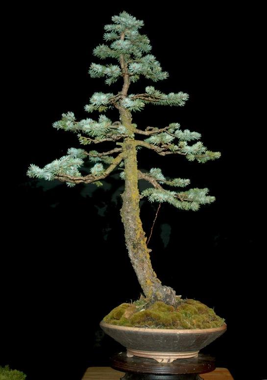 Blue Spruce. N.d. Photograph. Http://prasathgarden.blogspot.com/2012/03/outdoor-bonsai-trees.html. Web. .